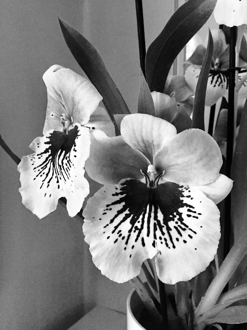 Orchidee di  Antonella Giuliani