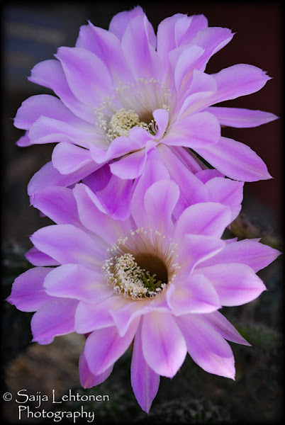 Photo: The desert has so much beauty to offer.....Echinopsis Aurea or Easter Lilly Cactus...  #FloralFriday #Floral #Macro #Nature #Arizona #Cacti