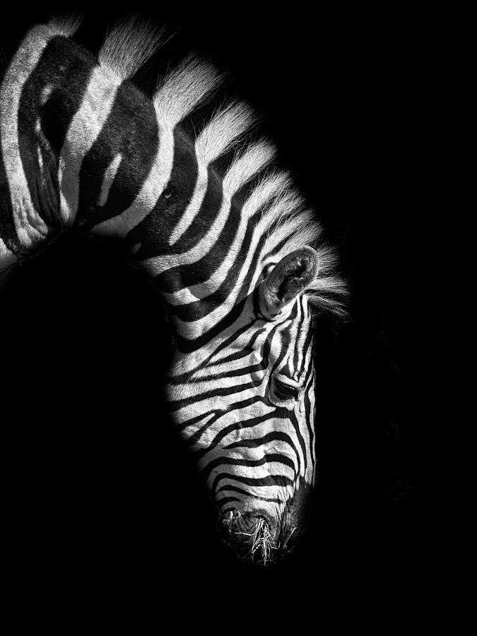 Zebra by Martin Dlouhý - Animals Horses