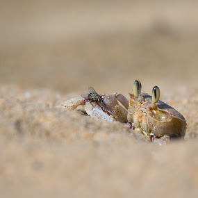 Crab and fly by Dawie Nolte - Animals Sea Creatures ( sand, crabeyes, seashore, fly, crab, eyes )