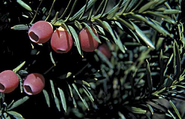 Japanese yew leaves and fruits