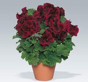 Image result for geranium regal aristo black