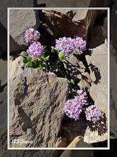 Photo: Tabouret à feuilles rondes, Noccaea rotundifolia