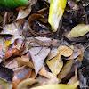 Large Camouflaged Katydid