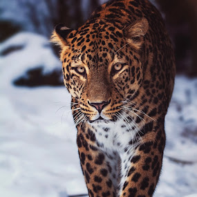 Persian leopard by Ondřej Chvátal - Animals Lions, Tigers & Big Cats ( feline, natural, nature, winter, muzzle, portrait, look, eyes, cute, persian, head, leopard, snow, cat, carnivore, animal, detail, zoo, wild, walk, wildlife, czech,  )