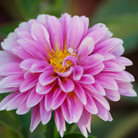 Petals in Pink by Angel Harvey - Novices Only Flowers & Plants ( pink ', petals, ants )