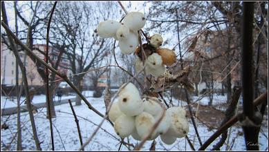Photo: Hurmuz alb (Symphoricarpos albus) - de pe Calea Victoriei, alee - 2017.01.16