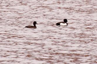 Photo: Tufted Duck (Reiherente); Inchnadamph, SCOT