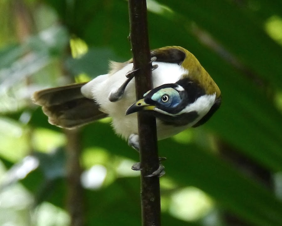 Blue faced Honey Eater by Mac Doc - Animals Birds (  )
