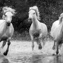 Trio of Camargue mares black and white by Helen Matten - Black & White Animals ( galloping, mares, of, wild, horses, marshes, camargue, white, three, south, france, black, and )
