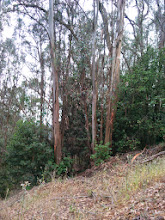 Photo: Removing the eucalypti (and poison oak) here would allow the bay and oak on wither side to flourish.
