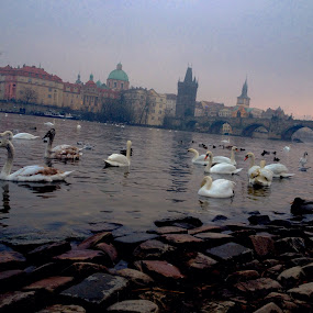 City swans by Bronagh Marnie - Instagram & Mobile iPhone