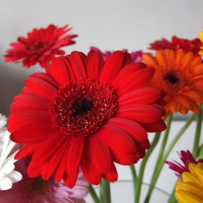 Unedited  by Amanda Dacey - Nature Up Close Flowers - 2011-2013 ( unedited, gerbera, flower )