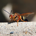 Cicada Killer Wasp (Cicada Hawk)