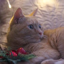 Lucky feeling festive. by Susan Pretorius - Animals - Cats Portraits