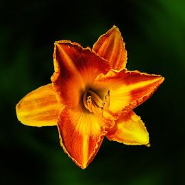 Daylily by Joseph Vittek - Flowers Single Flower
