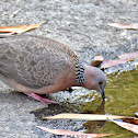 Spotted Dove ( कुर्ले ढुकुर )