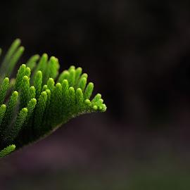 Pine Leaf by Eko Sutrisno - Nature Up Close Trees & Bushes