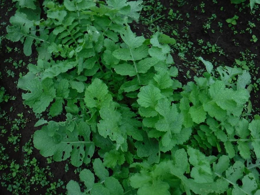 三浦大根の葉、ここはほとんど虫食いなし