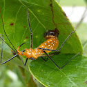 Milkweed Assassin Bug Laying Eggs