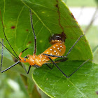 Milkweed Assassin Bug Laying Eggs