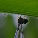 Long-winged Planthopper, Cross-eyed planthopper, Palm derbid.