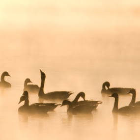 Canadian Geese on a Golden Morning by Jerry Hoffman - Animals Birds (  )
