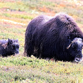 Musk ox  Morther with a calf by Roald Heirsaunet - Animals Other Mammals
