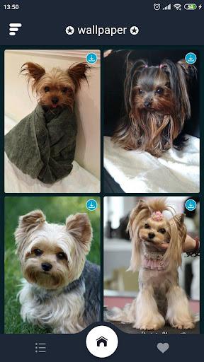 Yorkshire Terrier Puppies Wallpapers