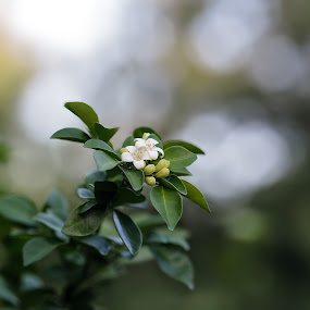 lake view jasmine by Debi Henry - Animals Other ( soft bokeh, florida lakeside, green, white, flower )