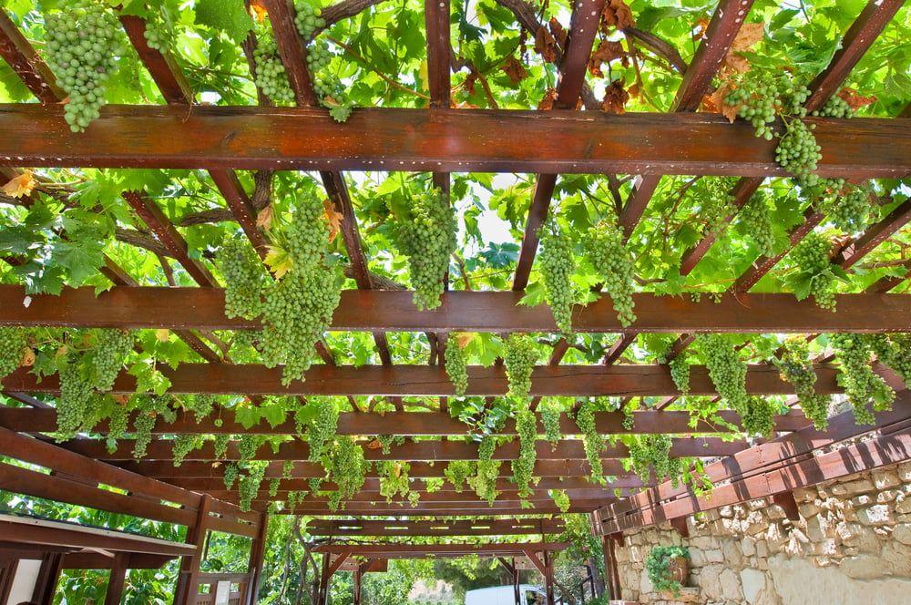 Wine grapes growing on trellis