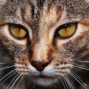 Brownie by Michael Cowan - Animals - Cats Portraits (  )