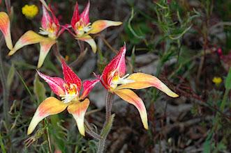 Photo: Caladenia flava x Caladenia reptans hybrid