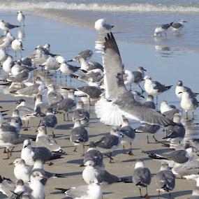 Gulls On The Beach by Alice Gipson - Animals Birds ( shorebirds, alicegipsonphotographs, seagulls, birds, gulls )