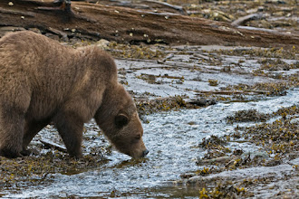 Photo: Grizzly taking a drink