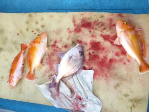 Photo: 次は、真鯛とアカイサキのフォースキャッチ!