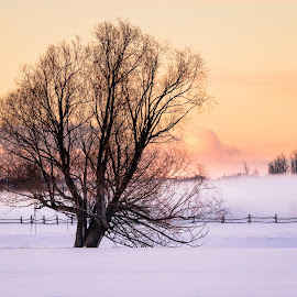 My Willow Tree by Chad Roberts - Nature Up Close Trees & Bushes ( willow, snow, frost, tree, winter, cold, fog )