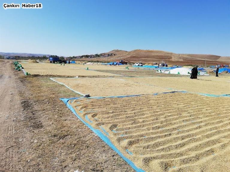 Çankırı'da çeltik tarımı yapılan Kızılırmak, Ilgaz ve Merkez ilçelerinde çeltik hasadı