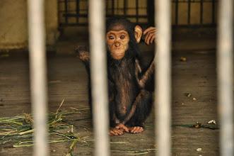 Photo: little chimp