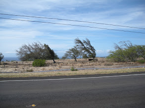 Photo: Near Hawi the wind blows so hard that the trees grow side ways!