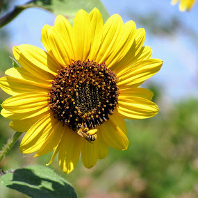 The Busy Bee by Rick Covert - Flowers Flowers in the Wild ( wildflower, honey bee, pollen, yellow, sunflower,  )
