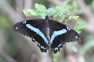 Photo: Narrow-green banded Swallowtail - Papilio nireus