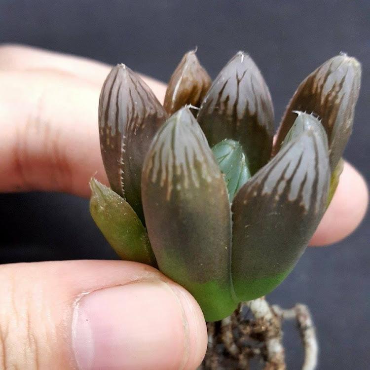 Haworthia Obtusa 黑肌玉露