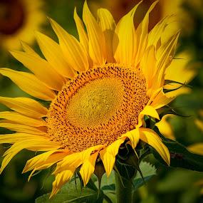 Sun Flower by Faizan Hussain - Flowers Flowers in the Wild ( wild, nature, sun_flower, sunshine, beauty, flowers, colours )