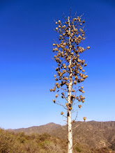Photo: Foothill yucca (yucca whipplei), aka chaparral yucca, Spanish bayonet, our Lord's candle. After 8 to 12 years, it sends up this flower stalk then dies.