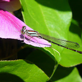 Damsel on pink flower by Peggy LaFlesh - Animals Insects & Spiders ( pink green, damsel, bug, insect, flower )