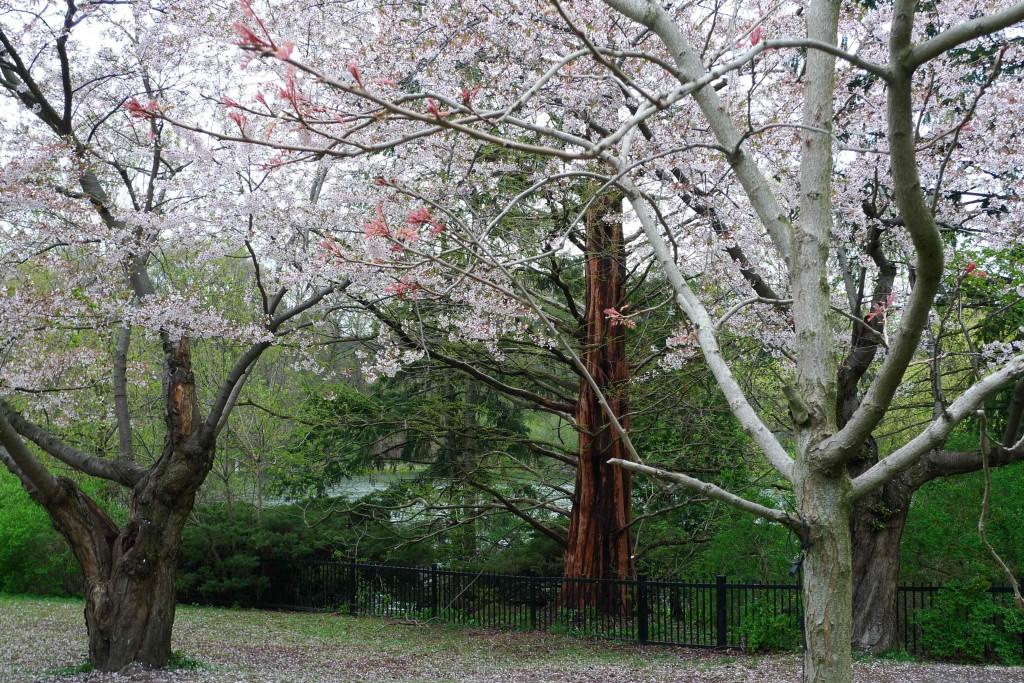 Sakura-April-1