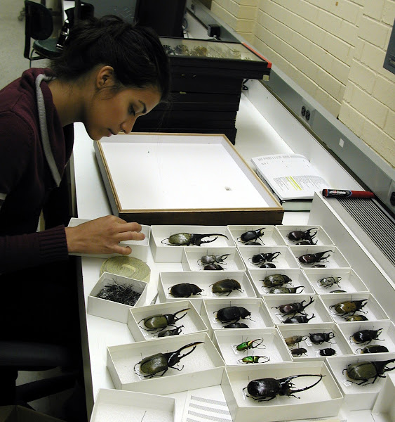 """Photo: May is """"Behind the Scenes"""" month on Insect of the Week, featuring images of the collection rooms.  Undergraduate intern Stephanie is transferring beetles in the family Scarabaeidae into insect unit trays and drawers. The insects were donated to the Field Museum by a collector who specialized in beetle specimens over 5cm long. The large beetles pictured are Hercules beetles, subfamily Dynastinae. Dynastes hercules and are found in the rainforests of Central and South America.  © The Field Museum, Photographer James H. Boone, Zoology - Division of Insects 2012"""