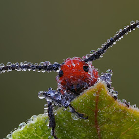 Dewy Milkweed Bug 2 by Brent Bristol Sr. - Animals Insects & Spiders ( macro, cognisys stackshot, focus stacking, red milkweed beetle, dew, cerambicidae tetraopes )