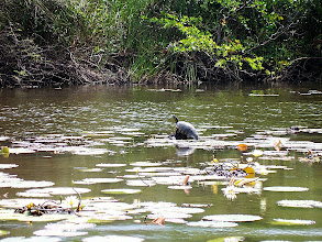 Photo: New River to Lamanai--turtle sunning itself